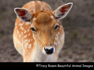 A deer with a fake copyright attribution to racy Rosen Beautiful Animal Images